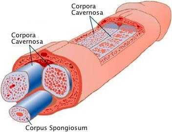 Helbrede en krummerik - Copora Cavernosa